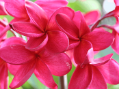 Hawaii - Plumeria flowers