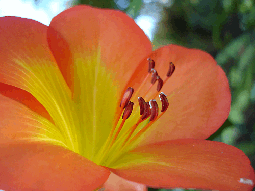 hawaii-flower